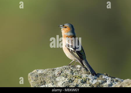 Male chaffinch, Latin name Fringilla coelebs, standing on a lichen covered rock while calling - Stock Image