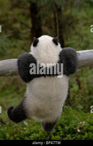 6 month old panda cub clings to trunk, Wolong, China - Stock Image