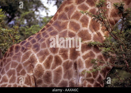 giraffe in South Africa close up of pattern  - Stock Image