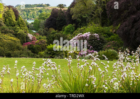 Sisyrinchium striatum in the foreground with Trebah Garden in the background. - Stock Image