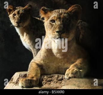 A portrait of two lion cubs. - Stock Image