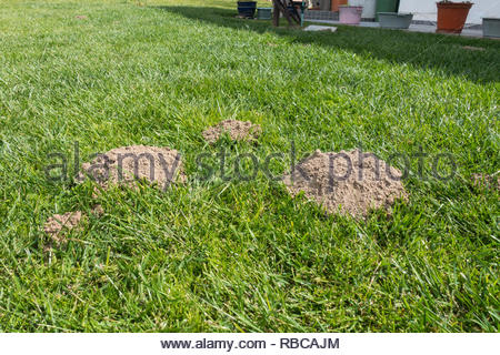 mole hills on a lawn - Stock Image