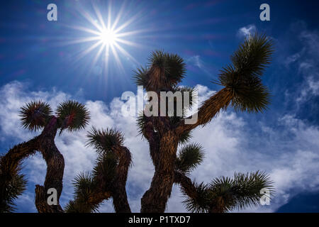 A Yucca brevifolia under a bright sky in Joshua Tree National Park; California, United States of America - Stock Image