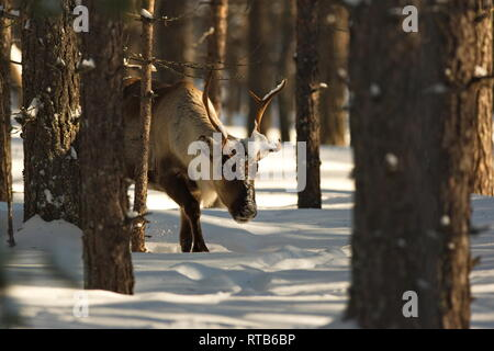 Reindeer (Rangifer tarandus) in a snowy winter forest - Stock Image