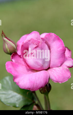 Rosa 'Fragrant plum' - Rose - May - Stock Image
