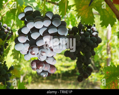 Blue grapes on the vine. Close-up shot of grape cluster in the sunlight. - Stock Image