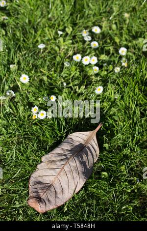 A dried old leaf next to new growth of wildflowers. - Stock Image