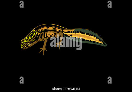 Coloured computer drawn illustration of Palmate newt in profile isolated on black background. - Stock Image
