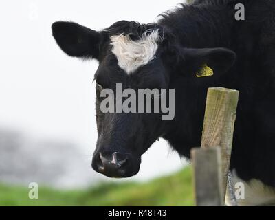A bull in a field staring down a fence line with a menacing gaze in Scotland, UK - Stock Image