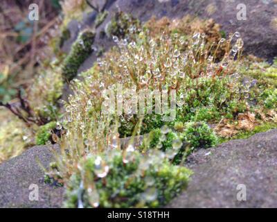 Sparkle moss - Stock Image
