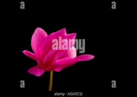 Bright pink Cyclamen against a black background family Myrsinaceae or family Primulaceae - Stock Image