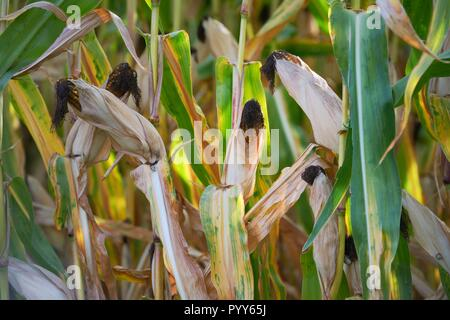 Ripe corn on the cob maize plant field crop ready for harvest. Brittany, Normandy France - Stock Image