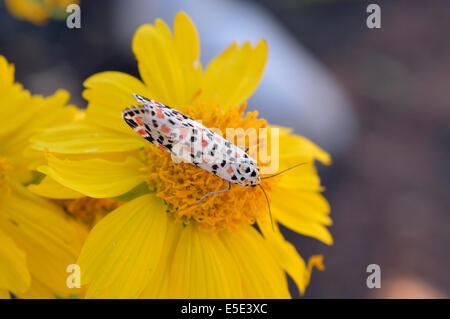 Utetheisa pulchella, Crimson Speckled Footman, Namibia - Stock Image