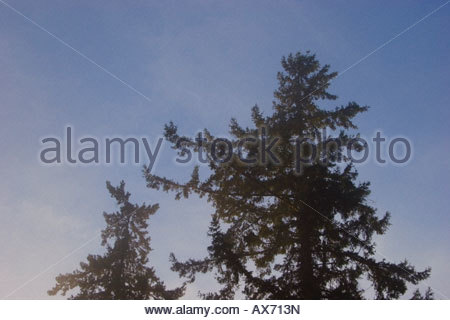 Looking up at the pine trees the mist - Stock Image