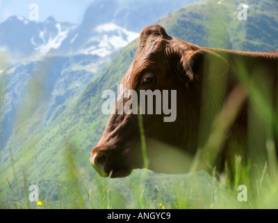 Bull with ring - Stock Image