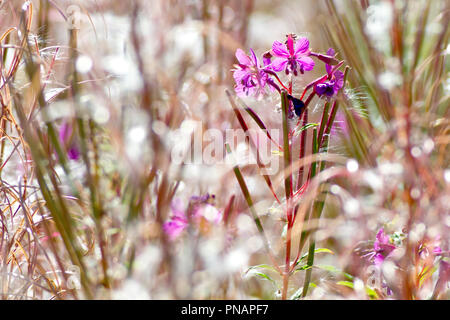 Rosebay Willowherb (epilobium angustifolium), close up of the last few flowers growing amongst plants that have already gone to seed. - Stock Image