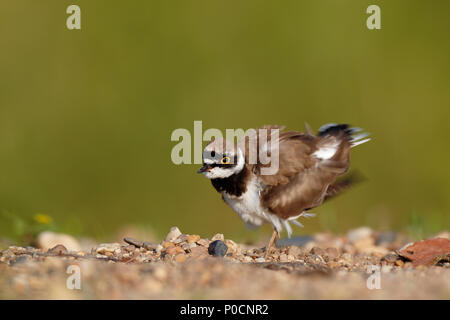 Little ringed plover (Charadrius dubius), plumage care, Middle Elbe Biosphere Reserve, Dessau-Roßlau, Saxony-Anhalt, Germany - Stock Image