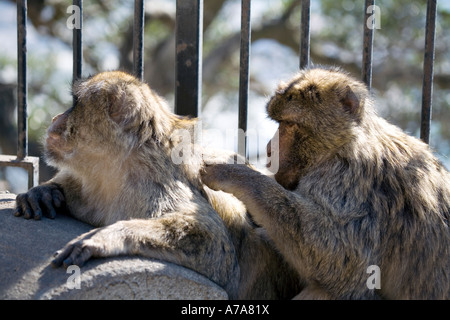 Two Gibraltar Apes grooming each other - Stock Image