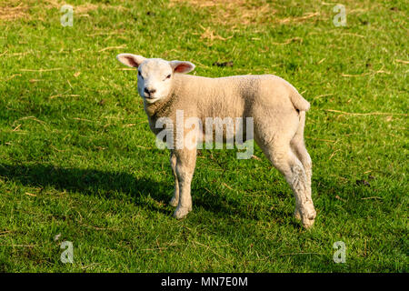 Texel lamb in a field near Arnside, UK. April 2018. - Stock Image