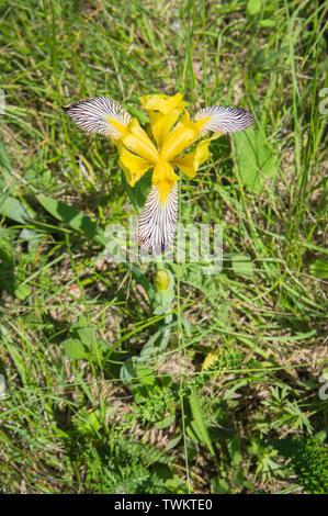Iris variegata in the National Nature Reserve Certoryje in the White Carpathians, Zlin Region, Czech Republic, June 2, 2019. (CTK Photo/Libor Sojka) - Stock Image