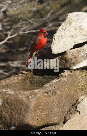 Brilliant Texas sun shines on regal red cardinal at Palo Duro State Park near Amarillo in Texas in vertical photograph with copy space. - Stock Image