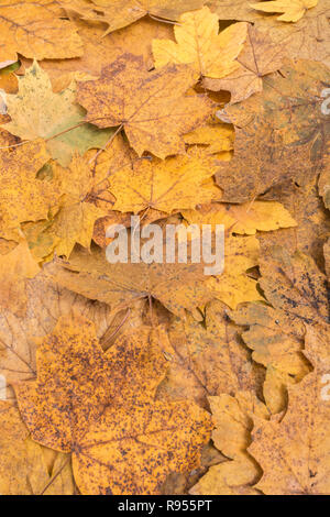 Autumnal leaf litter of Sycamore / Acer pseudoplatanus, plus other unidentified Acer leaves. Metaphor Autumn, Autumn Years, end of season, Fall. - Stock Image