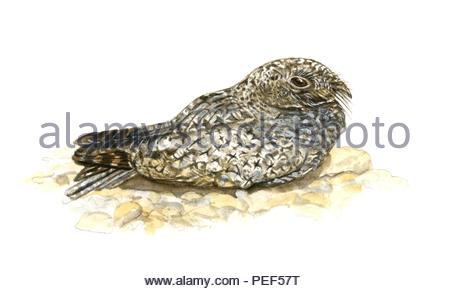 winter-night-swallow phalaenoptilus nuttallii - Stock Image