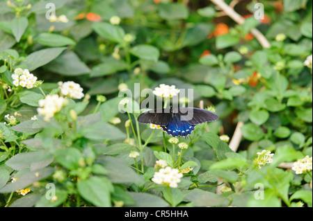 Pipevine swallowtail butterfly Battus philenor perched on Shrub Verbena flower Lantana camara These butterflies - Stock Image