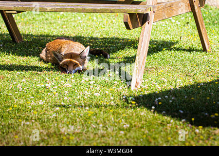 Lazy fox sleeping under a picnic table - Stock Image