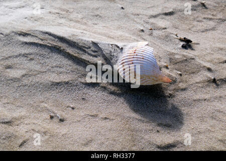 Seashells on the beach near Fort Morgan, Alabama. Close up shows patterns in the sand caused by wind and water erosion. - Stock Image