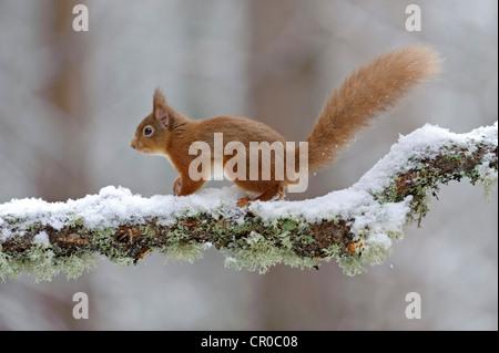 Red squirrel (Sciurus vulgaris) in snow. Speyside, Scotland. February. - Stock Image
