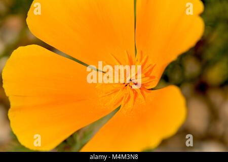 Californian Poppy (Eschscholzia californica) Close Up © Jeremy Graham-Cumming - Stock Image