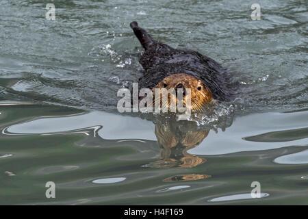 Sea Otter adult in the water Kenai Fjords, Alaska - Stock Image