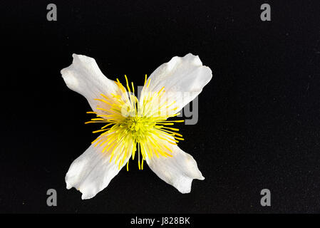 cross or cruciform shape on the white and yellow bloom of a climbing plant - Stock Image