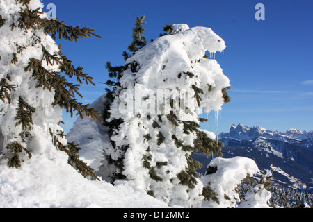 Snow covered mountain pine, Dolomite Alps - Stock Image