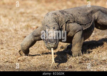 Komodo dragon, Varanus komodensis, Komodowaran, walking with tongue out, Rinca Island, Komodo National Park - Stock Image