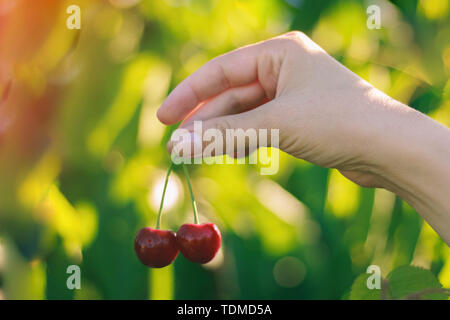 Female hand holds two ripe cherries on green background - Stock Image