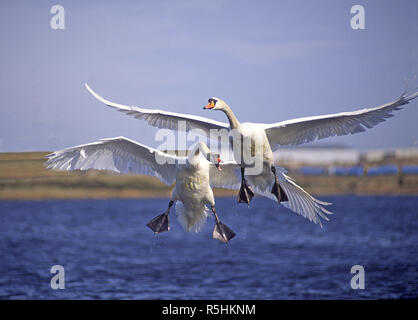 Mute swans in a territorial dispute on a small Aberdeenshire loch in Scotland. - Stock Image