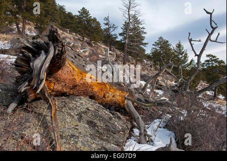 Fallen Tree in winter, Mountain, rugged terrain, winter, landscape, snow - Stock Image