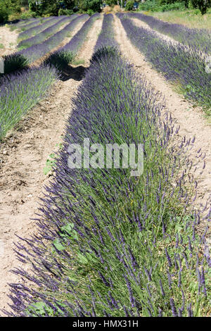Lavender Field Provence France - Stock Image