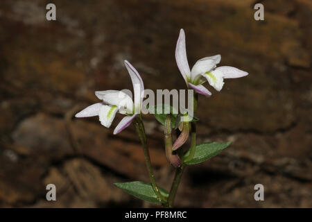 Three bird's orchid blossoms. - Stock Image