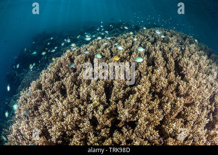Healthy Hard Coral Reef, Acropora, Lissenung, New Ireland, Papua New Guinea - Stock Image