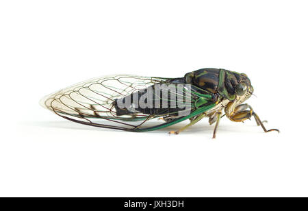 A large black and green cicada (Neotibicen) isolated on a white background - Stock Image