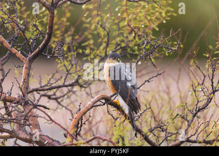 Sharp-shinned Hawk, McDowell Mountain Regional Park, Near Fountain Hills and East of Phoenix, Arizona. - Stock Image