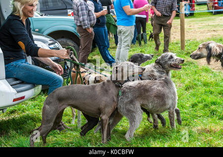The Barlow Hunt Dog Show - a group of lurchers and whippets pulling on a their leads to greet another dog - Stock Image