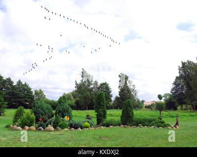 Bird cranes migration flight in skein to south - Stock Image