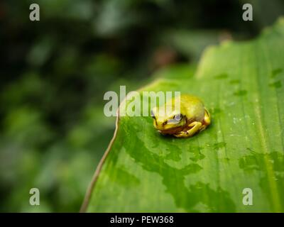 A small green tree frog sitting on a large leaf in a rain forest - Stock Image