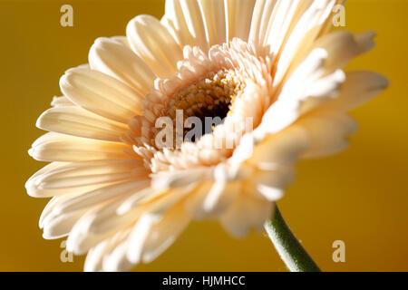 charming cream gerbera on yellow still life  - positive and flourishing Jane Ann Butler Photography  JABP1783 - Stock Image