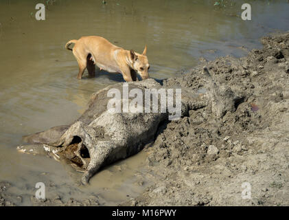 A dog near dead boy of cow and trying to eat the remains. - Stock Image