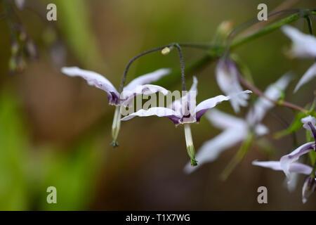 epimedium fargesii pink constellation,flowers,woodland,perennials barrenwort,shade,spring,shady,shaded,RM Floral - Stock Image